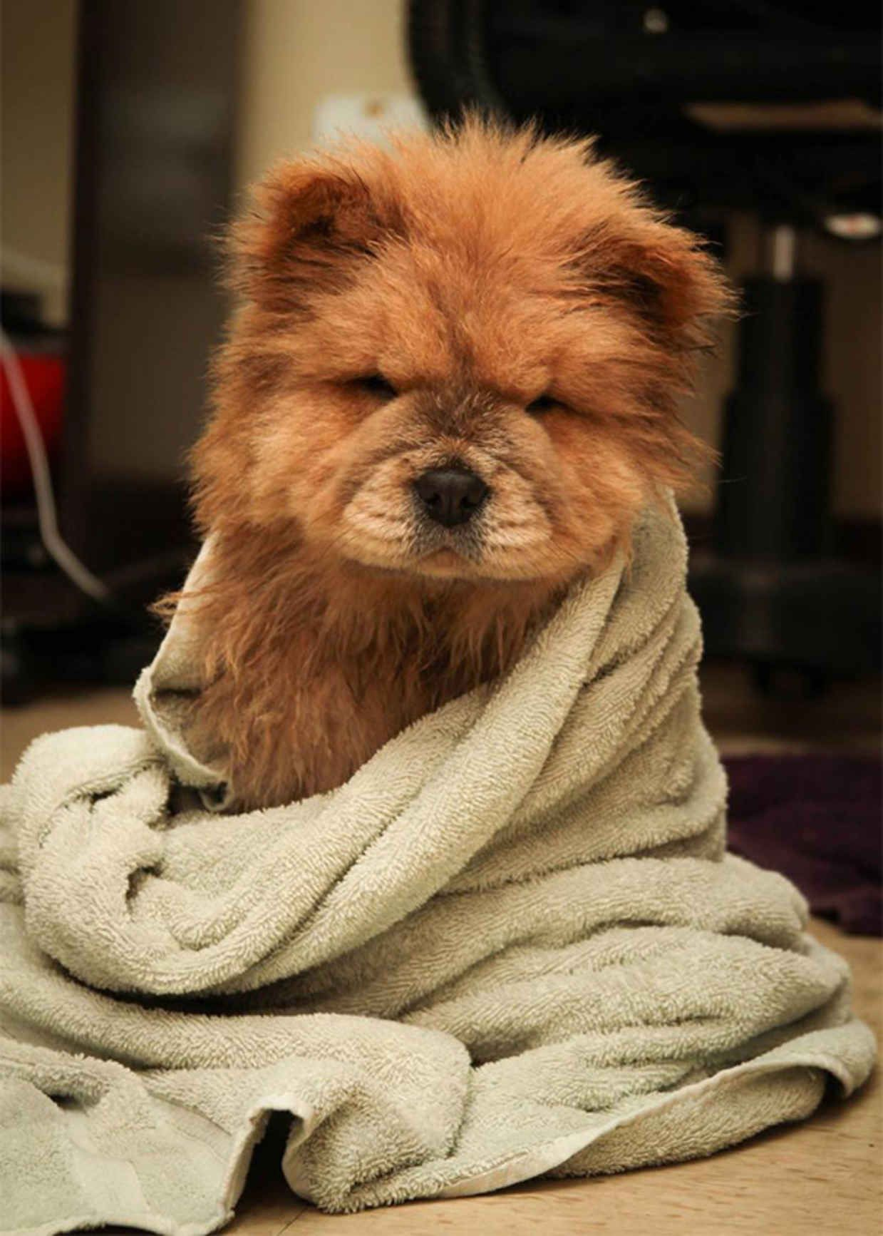 Adorable Dogs That Actually Look Like Tiny Teddy Bears Tiny - 28 adorable dogs that actually look like tiny teddy bears