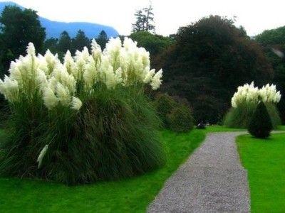 Olbrzymia Trawa Pampasowa Biala 6398612683 Oficjalne Archiwum Allegro City Garden Garden Plants