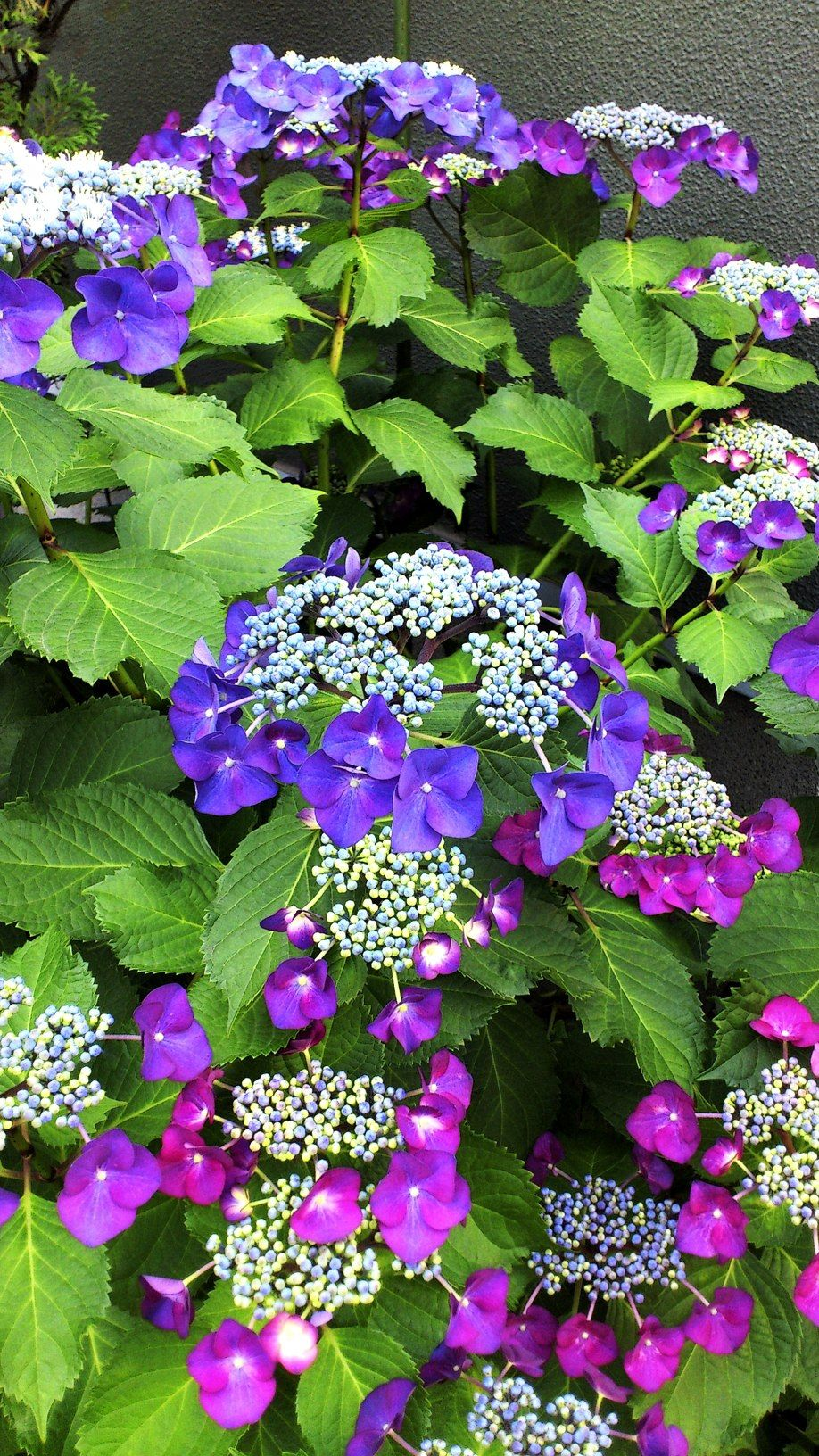 Come Curare Le Ortensie lacecap hydrangea - most people prefer the snowball-type of