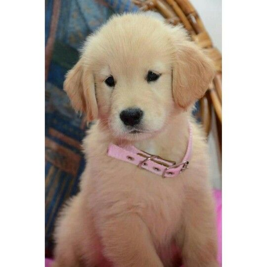 Crate Training Is Effective Method For Golden Retriever Puppy