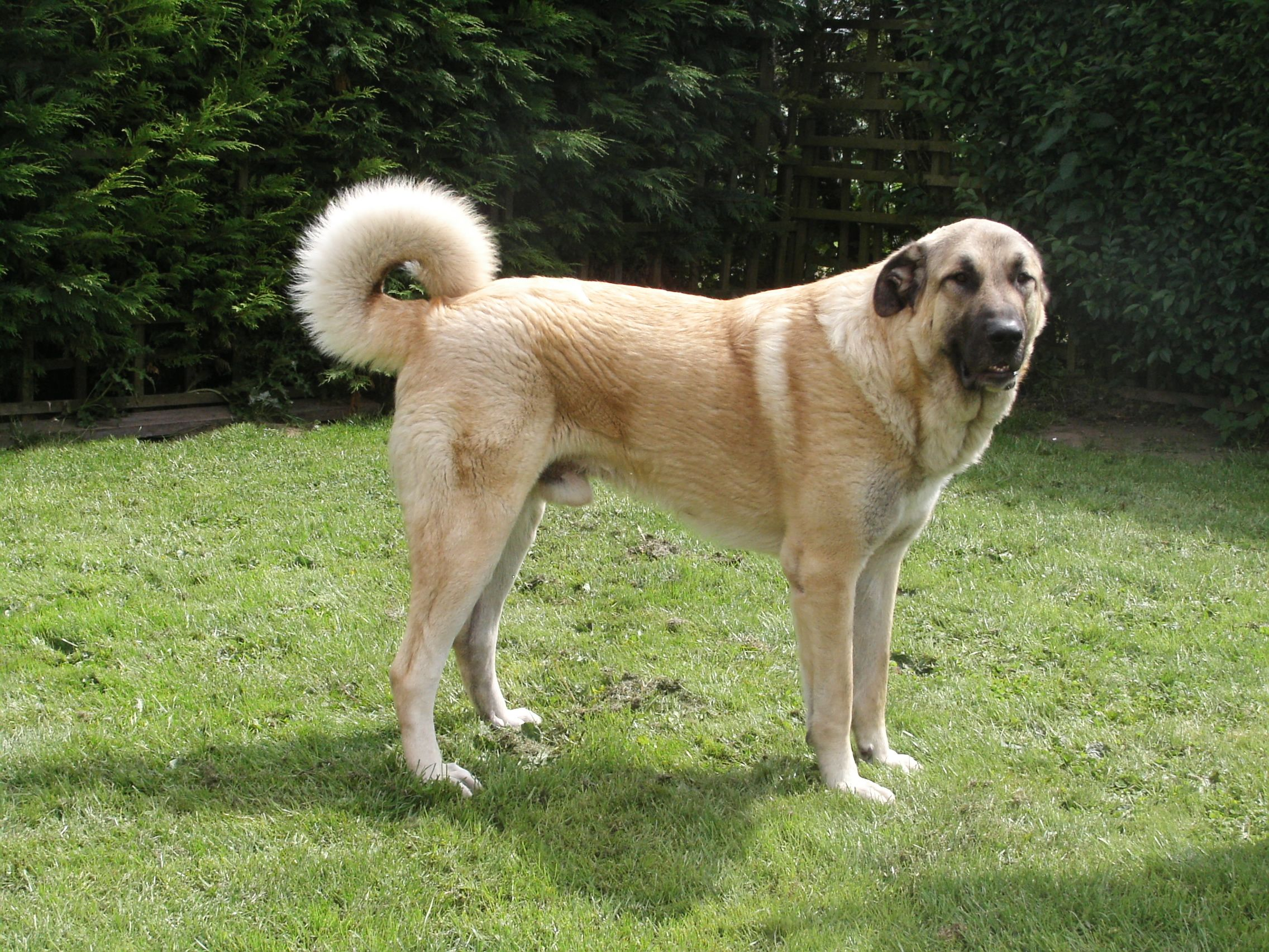 Anatolianshepherd The Large Dog Breed Anatolian Shepherd