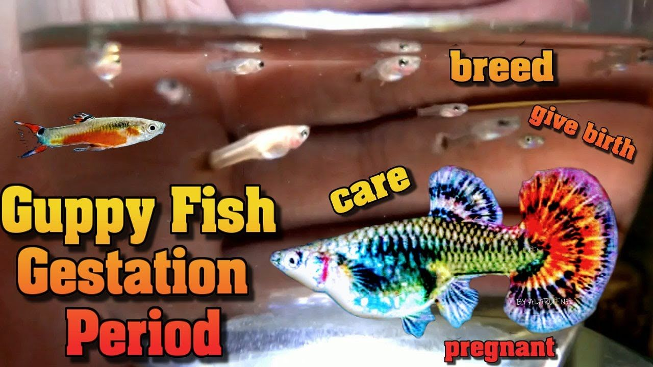Guppy Fish Gestation Period Care Breed Give Birth Pregnant How Often Do Guppies Have Babies Https Www Youtube Com Watch V Iyxmy In 2020 Guppy Fish Fish Fish Care