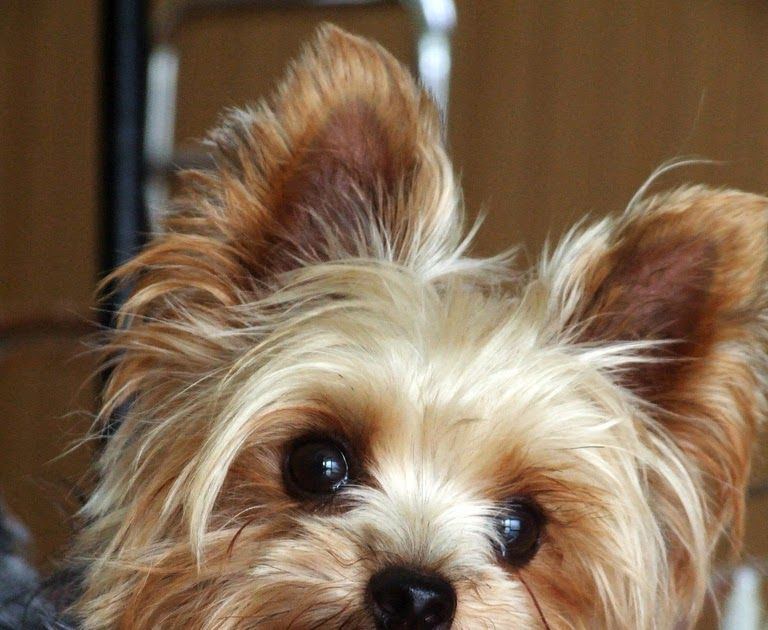 How Much Does A Yorkie And Teacup Yorkies Cost Teacup Yorkie