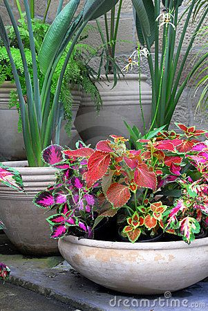 Coleus Plants In Beautiful Pots Arranged In A Pleasing Configuration