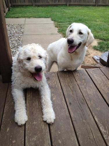 Adopt Bree And Willow On Poodle Mix Dogs Labrador Retriever
