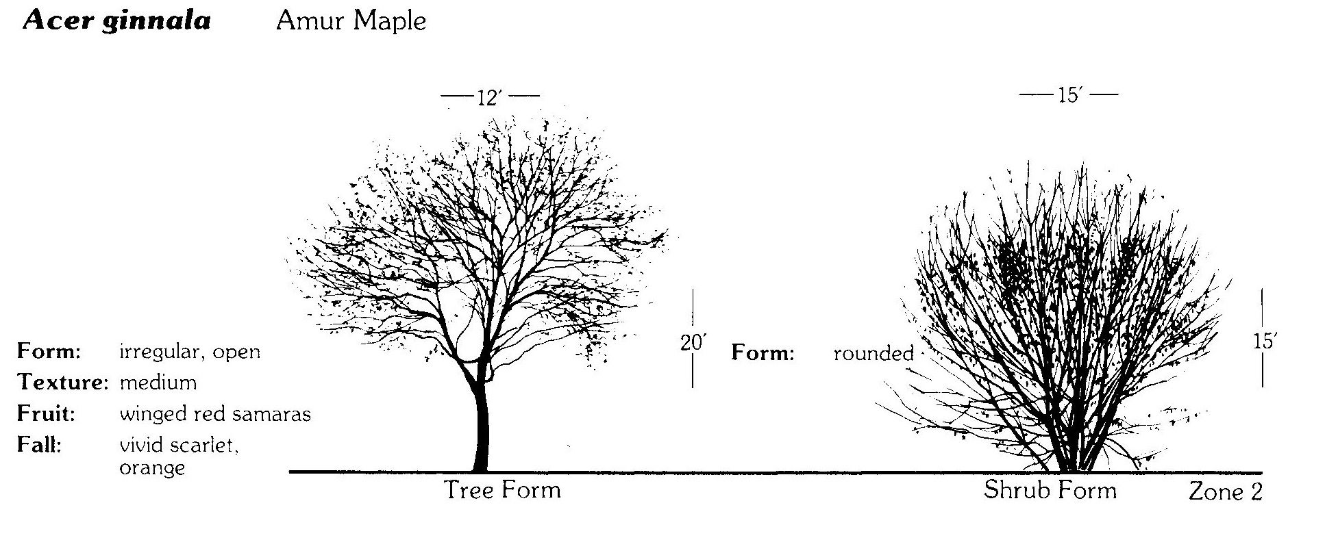 growing amur maple  acer ginnala