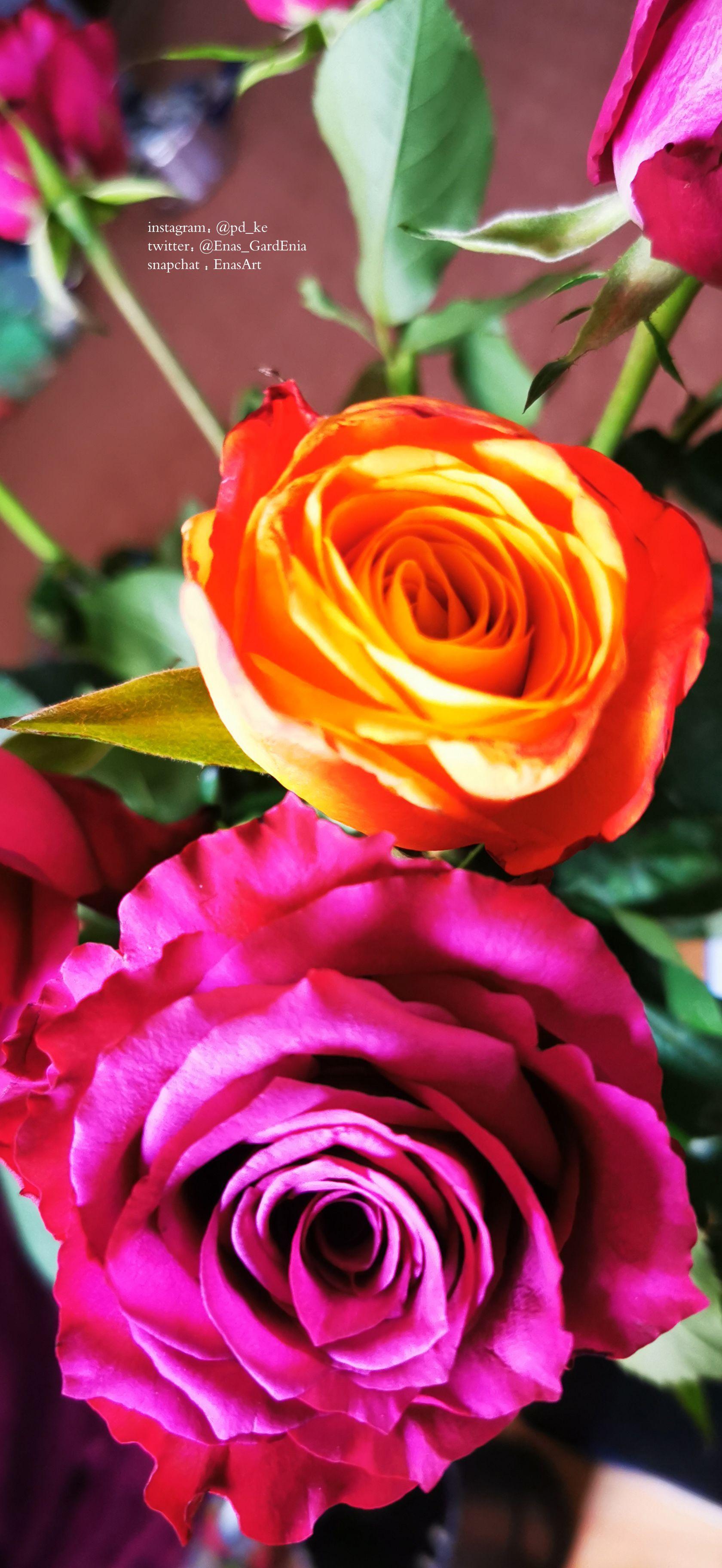 Instagram Pd Ke Twitter Enas Gardenia Snapchat Enasart Www Instagram Com Pd Ke تصويري ايناس الغاردينيا تصوير جوال تصو In 2020 Rose Flowers Plants