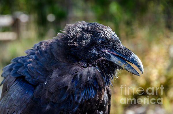 Bold and Demanding Raven by Debra Martz