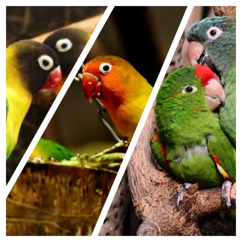 All About Lovebirds Love birds wedding, Bird wedding