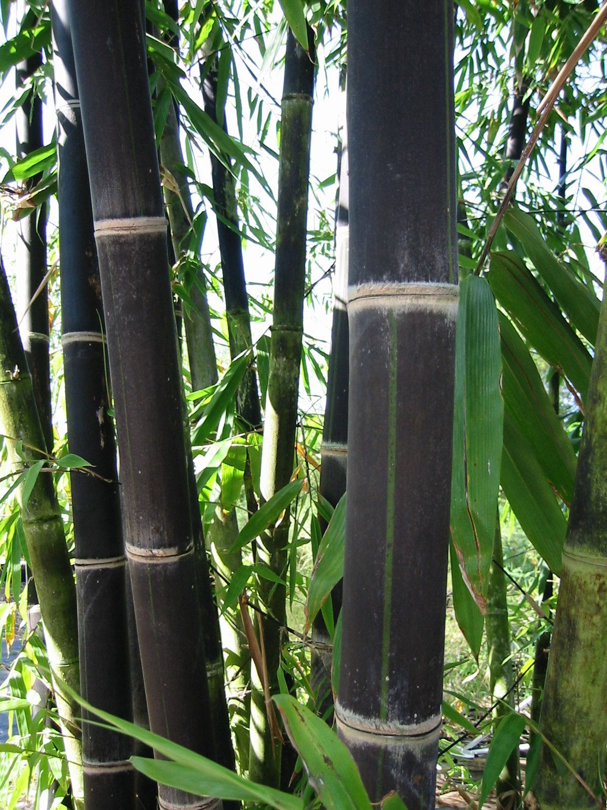 Phyllostachys Nigra In Pots Evidently Black Bamboo Will Grow In Containers In Illinois Which