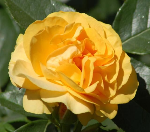 15 Recommended Rose Varieties Types Of Roses Rose Varieties Yellow Roses