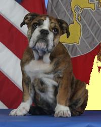 English Bulldog Stud Service With Images French Bulldog Breed English Bulldog Bulldog