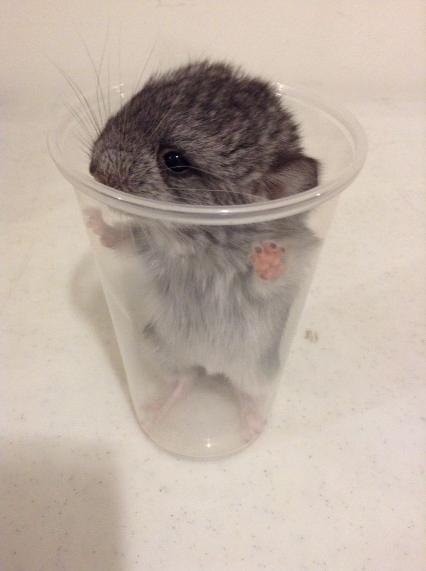 A Newborn Chinchilla In A Cup He She Came From A Pair Of Kits From The Third Generation Of Chinchillas Anybody Inte Chinchilla After Birth Interesting Things
