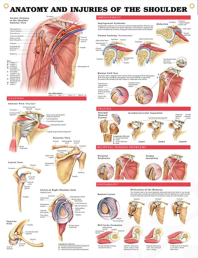 Anatomy And Injuries Of The Shoulder Anatomy Poster Shows Views Of