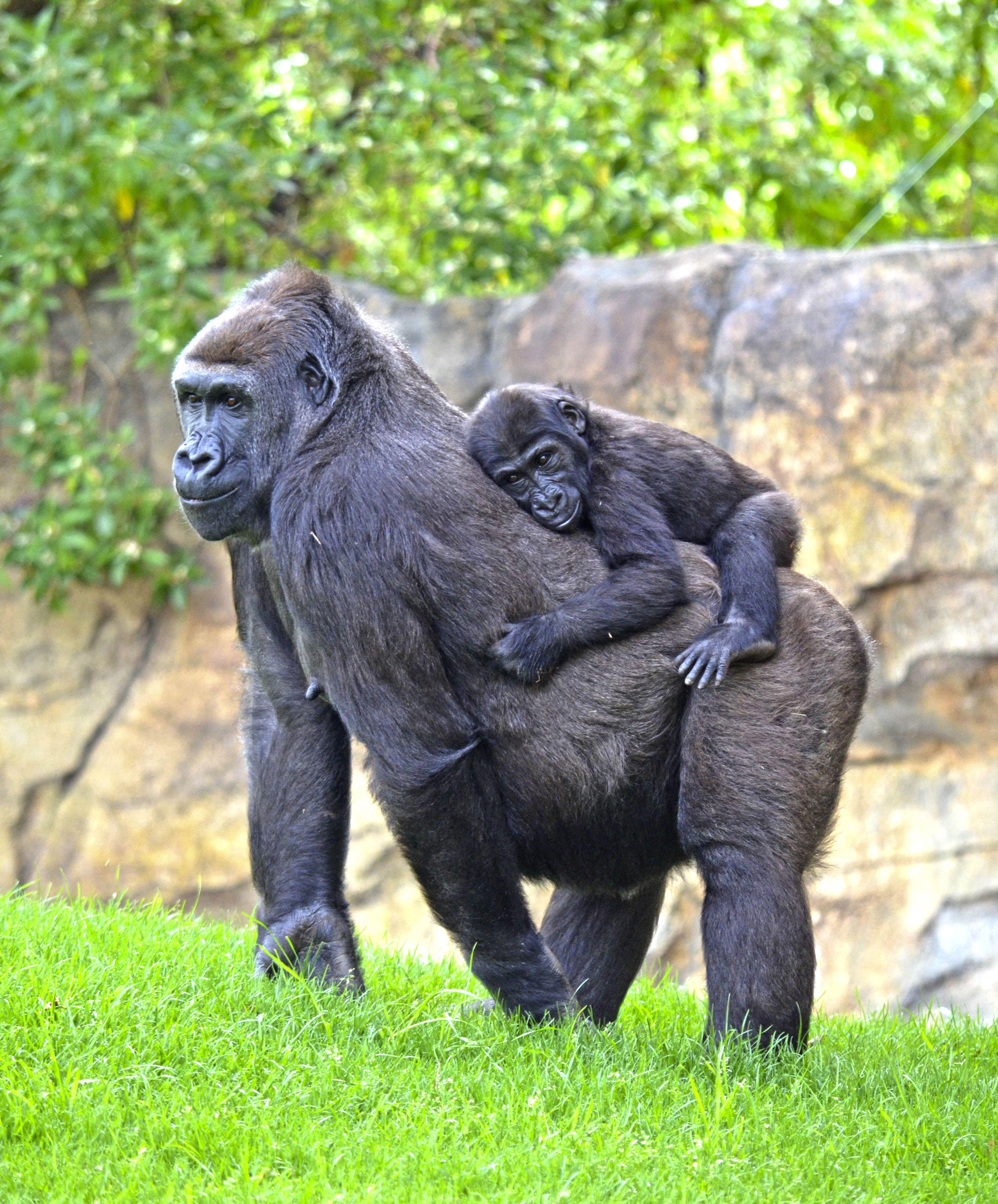 4444e778a5bd Primavera 2018 en BIOPARC Valencia. La gorila Nalani y su bebé Virunga en el  bosque