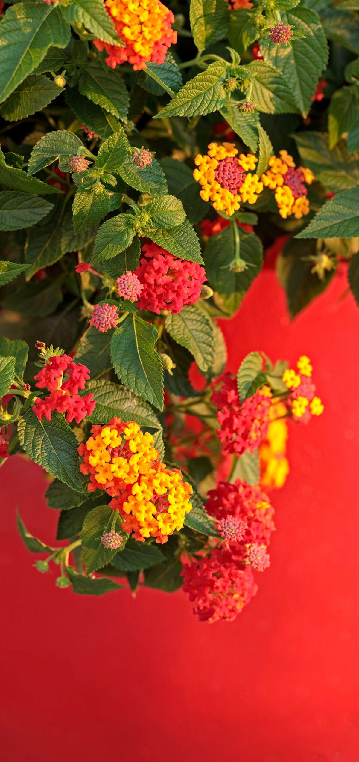 Drought Tolerant Lantana Heat Tolerant Flowers Heat Tolerant Plants Plants