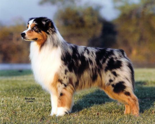 Chance Q S Grand Sire Crufts Best In Show 2006 Australian