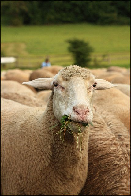Counting Sheep by Rich Lewis [busy!], via Flickr