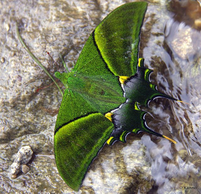 The Kaiser-i-Hind: A Very Rare Butterfly