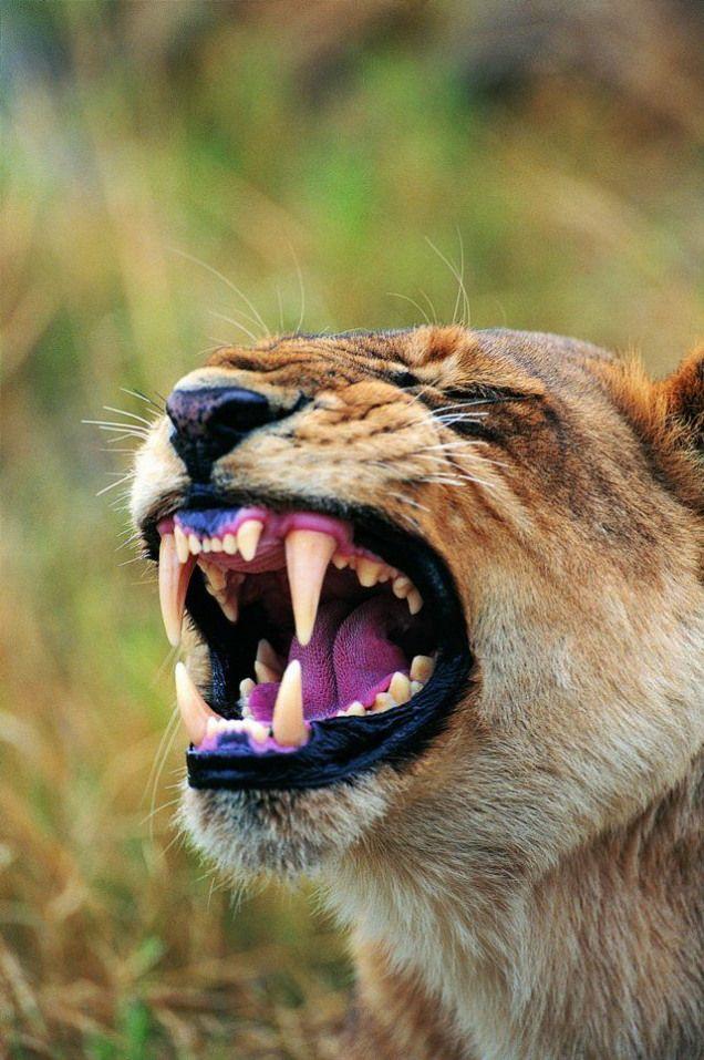 Sickkk... yes bigcats wildanimals fierce wild animals