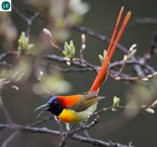 Hút mật đuôi lửa tiểu lục địa Ấn Độ và Đông Nam Á | Fire-tailed sunbird (Aethopyga ignicauda)(Nectariniidae)(Aethopyga) IUCN Red List of Threatened Species 3.1 : Near Threatened (NT) | (Loài sắp bị đe dọa)
