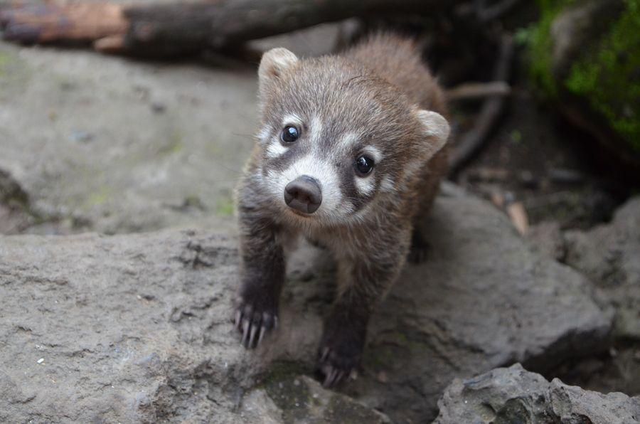 Coatimundi Baby Susseste Haustiere Seltene Tiere Tierbabys