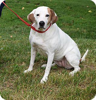 English (Redtick) Coonhound/Labrador Retriever Mix Dog for
