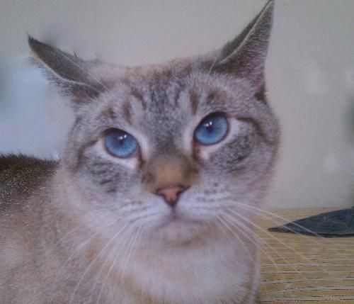 bunny, an adoptable cat from Austin Siamese Rescue Cat