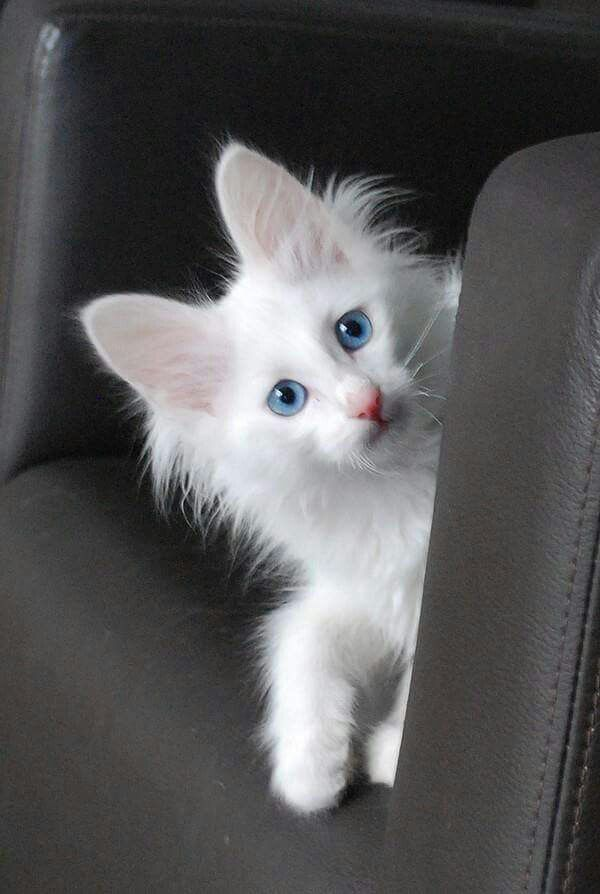 086738e5a2 Most Popular Long Haired Cat Breeds - Samoreals. Turkish Angora Cats