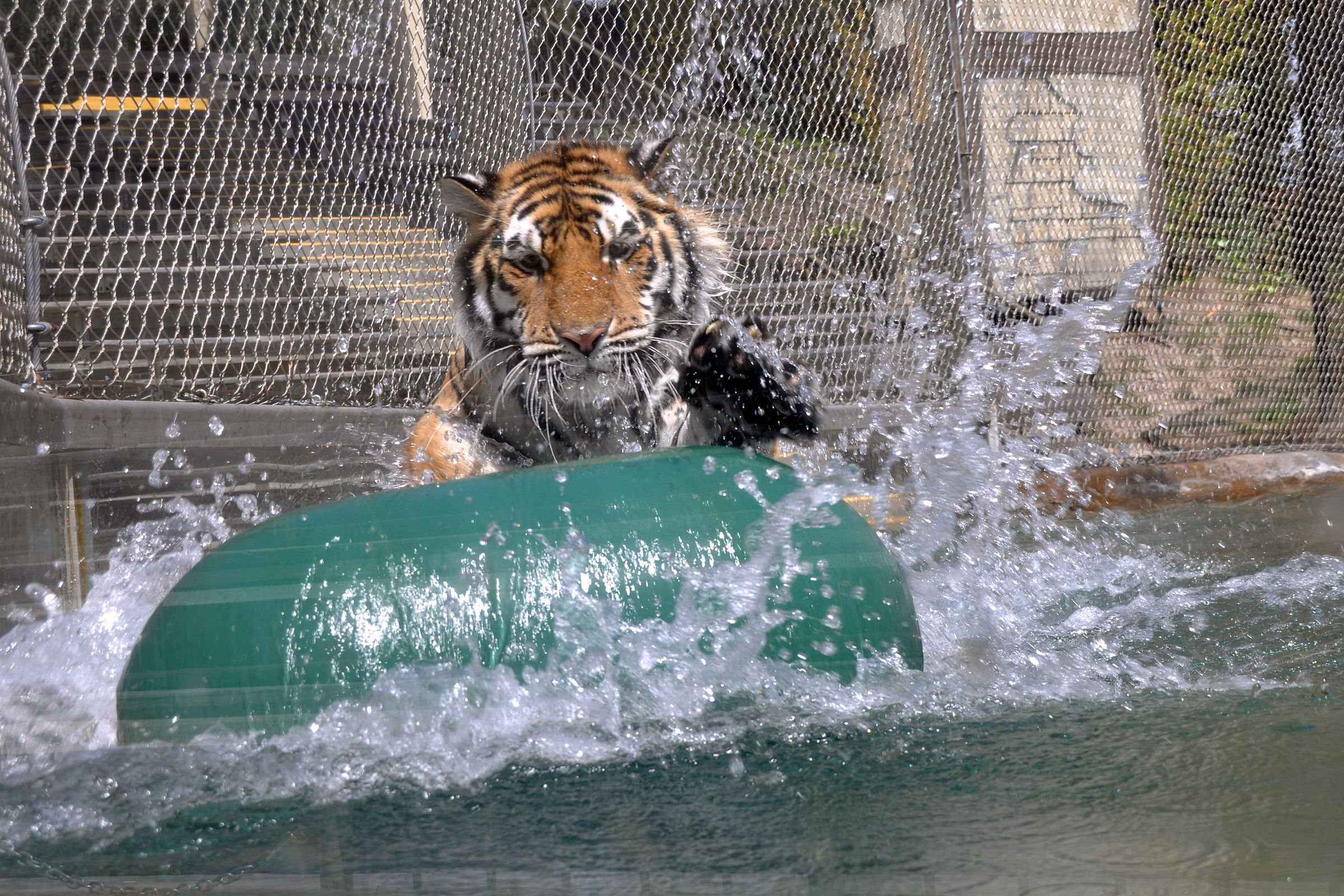 Maksim the Siberian tiger plays with a ball at Six Flags