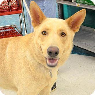 Kane German Shepherd Yellow Lab Mix Id 5378105 Misc Dogs