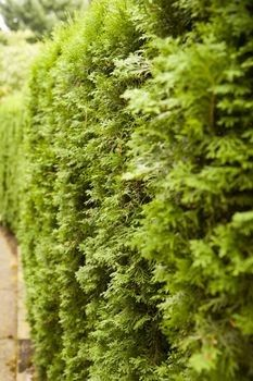 best hedges to plant fast growing and elegant privacy hedges garden garden privacy. Black Bedroom Furniture Sets. Home Design Ideas