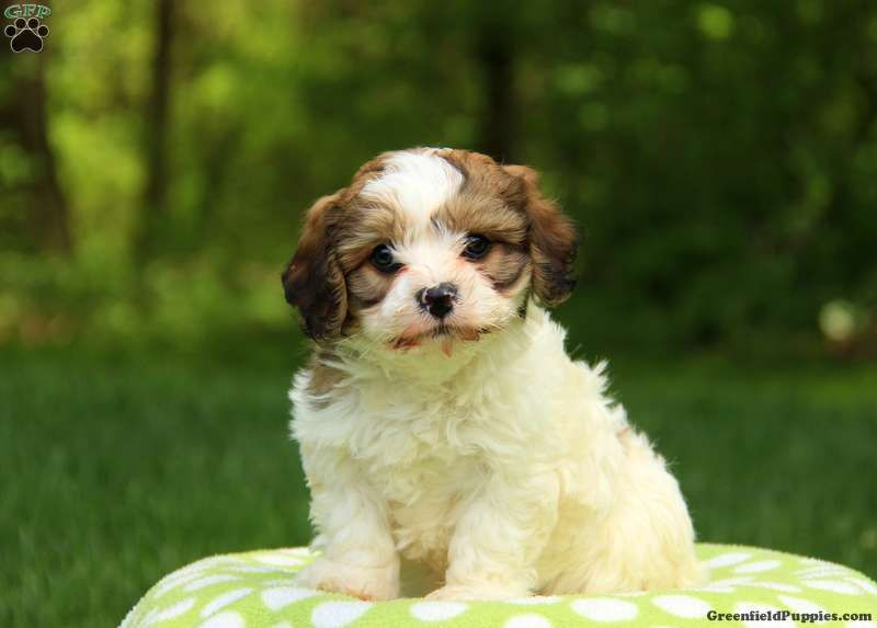 Bransby Cavachon Puppy For Sale in Pennsylvania
