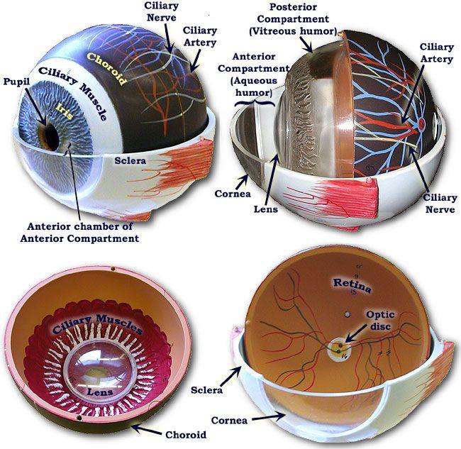 Internal View Of Eye Model Prenursing Pinterest Eyes Anatomy