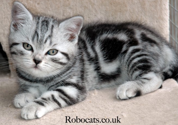 Robocat Silver Tabby British Shorthair Cat Breeders British Shorthair Cats Silver Tabby Kitten Cat Breeder