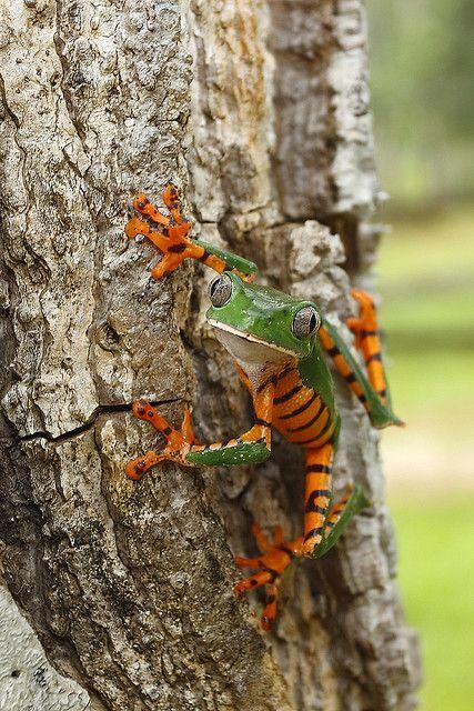 PHYLLOMEDUSA TOMOPTERNA - TIGER STRIPED LEAF FROG - FRENCH GUIANA by Stephan Roletto, via Flickr