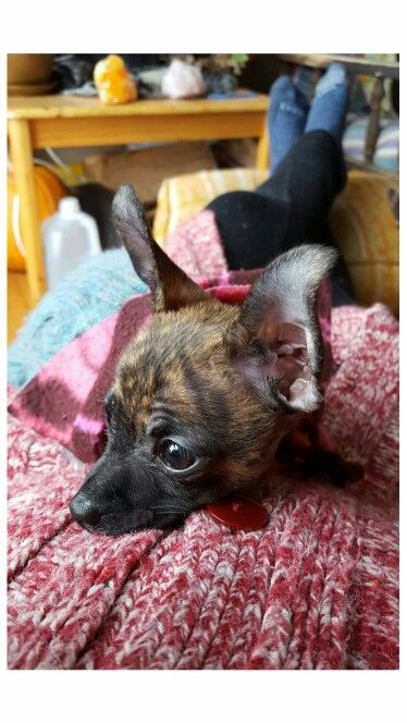 Rare brindle chihuahua. 10 weeks old of cuteness. Miss Mayven. Photo by Finn Graves.
