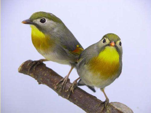 Vogelvereniging Vogelvreugd - {Fotoalbum >> Japanse Nachtegaal}