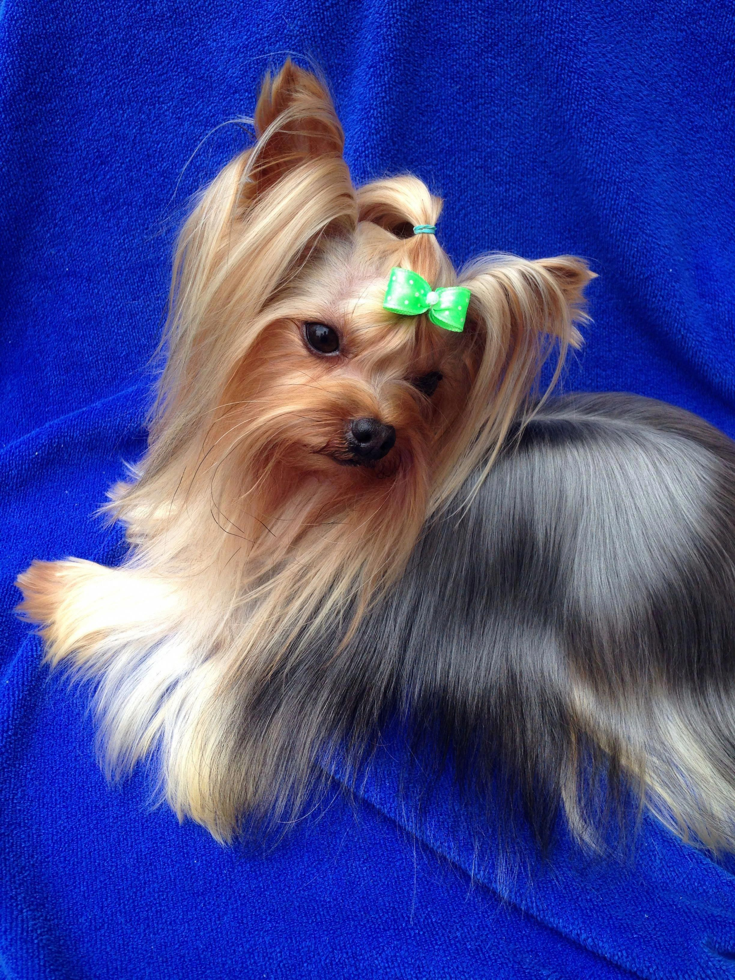 Discover the brave yorkie dog and kids