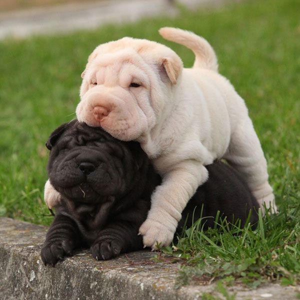 These Shar-Pei puppies are the very best of friends! Two sharpei puppies lying together in the garden by Shutterstock.