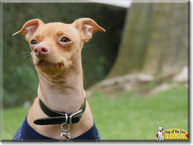 Chihuahua Dachshund Mix Tuna The Dog Of The Day Dog Photos