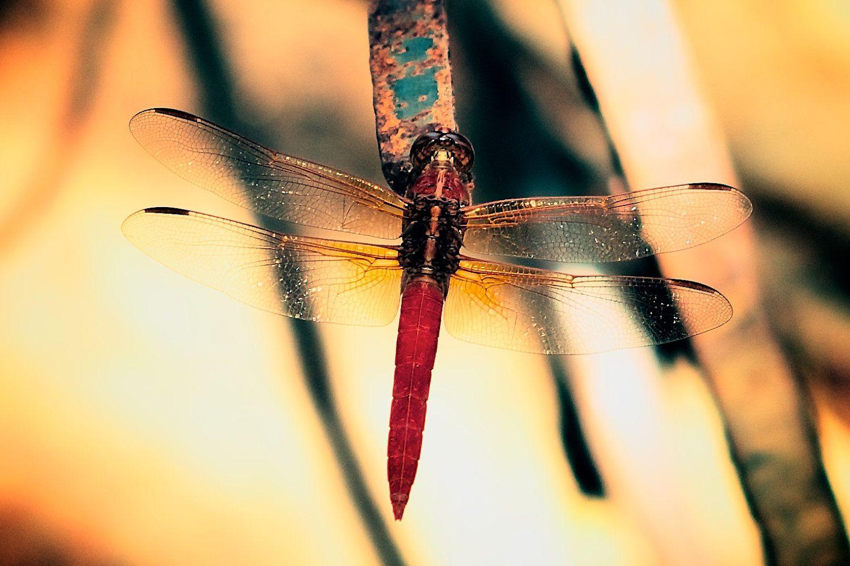 Red Dragon - Dragonfly Series 16X20 Fine Art Print. $65.00, via Etsy.