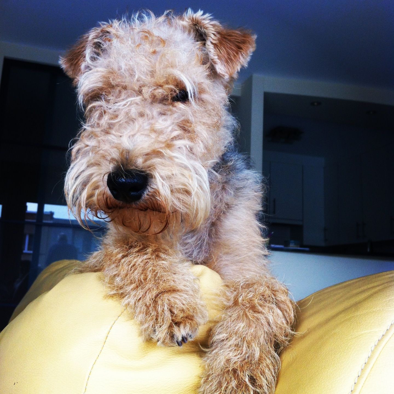 Felix, the Lakeland Terrier   a n i m a l s   Pinterest   Hunde