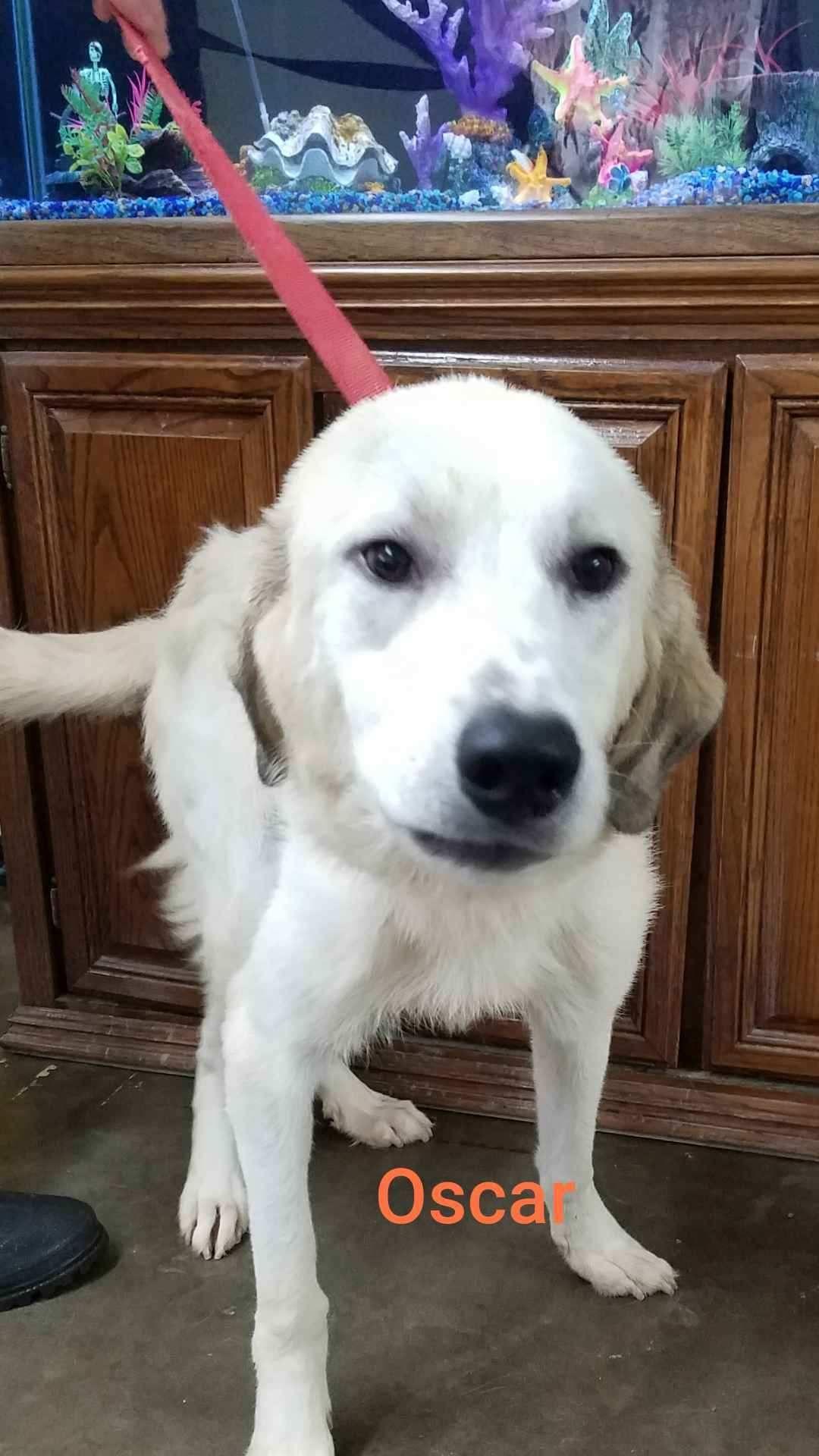 Adopt Oscar On Great Pyrenees Dogs Pet Adoption