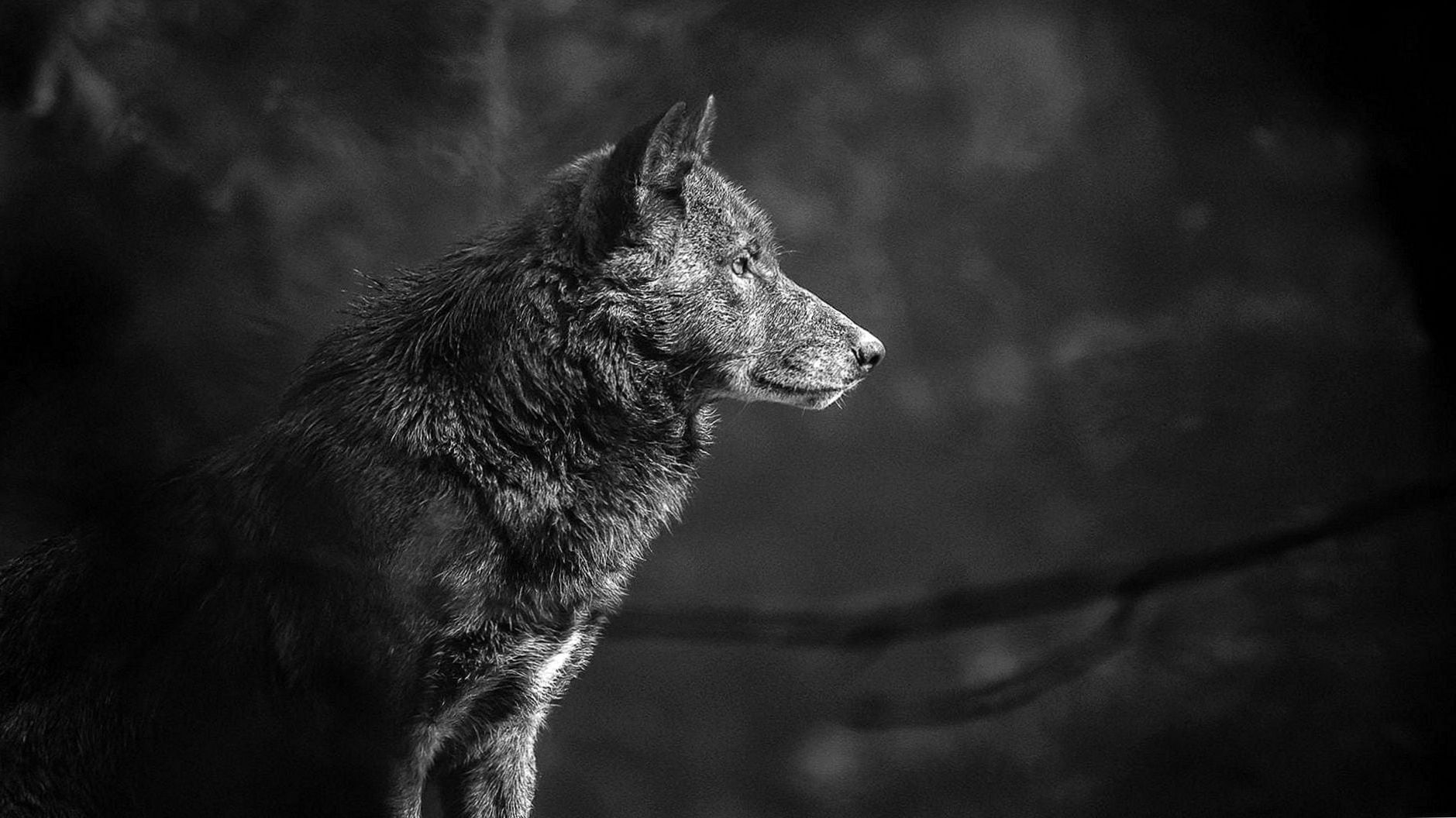 Black Wolf 4k Wallpapers Black Wolf 4k Wallpapers Wolf Wallpaper Grey Wolf Wolf Pictures