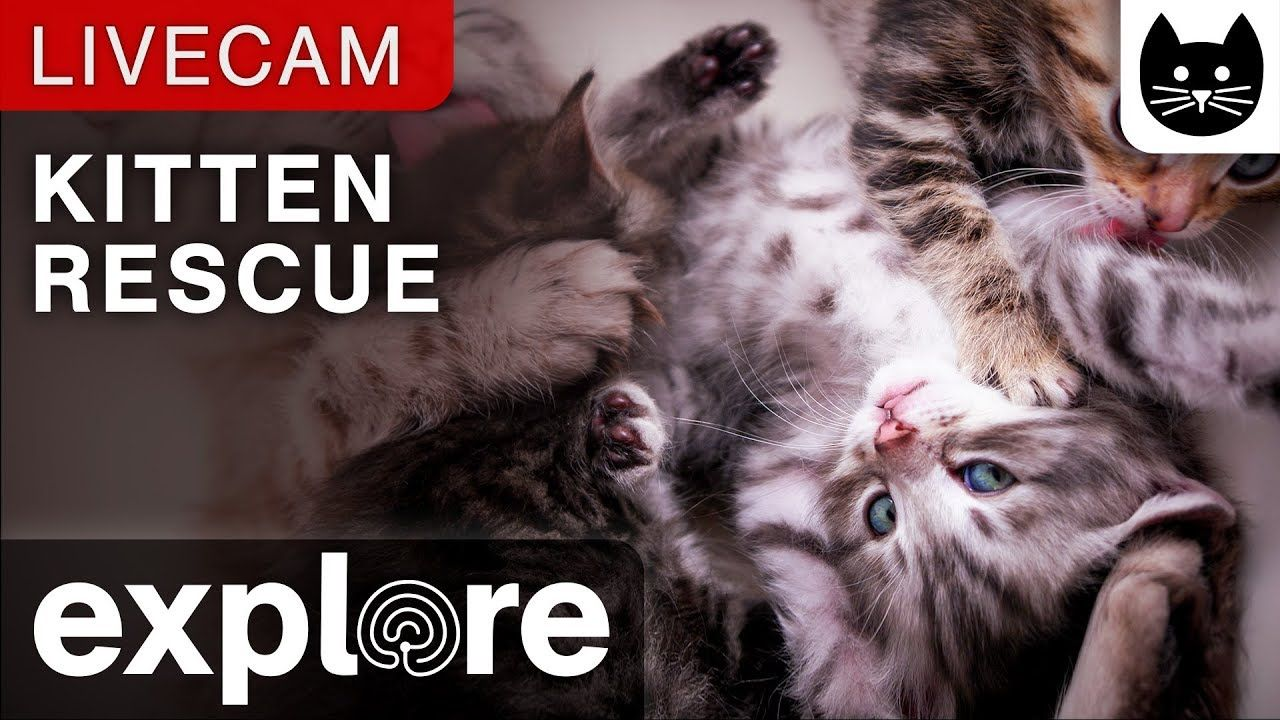 Kitten Rescue Cat Cam Powered By Explore Org Kitten Rescue Cat Rescue Cute Cats And Dogs