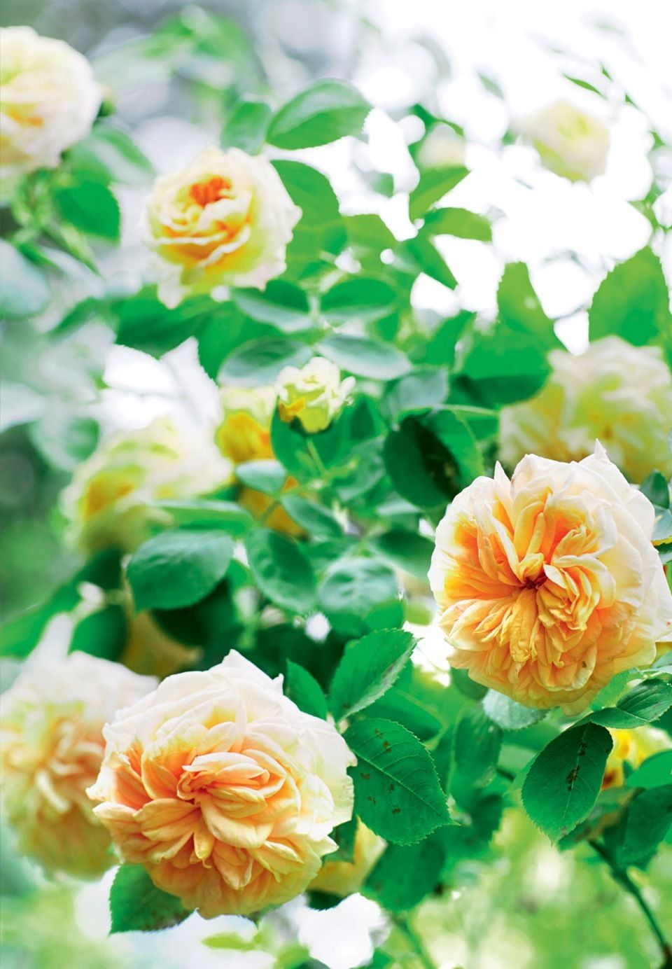 ef283123d Delicate and summer fresh Alchymist Roses in yellow tones.