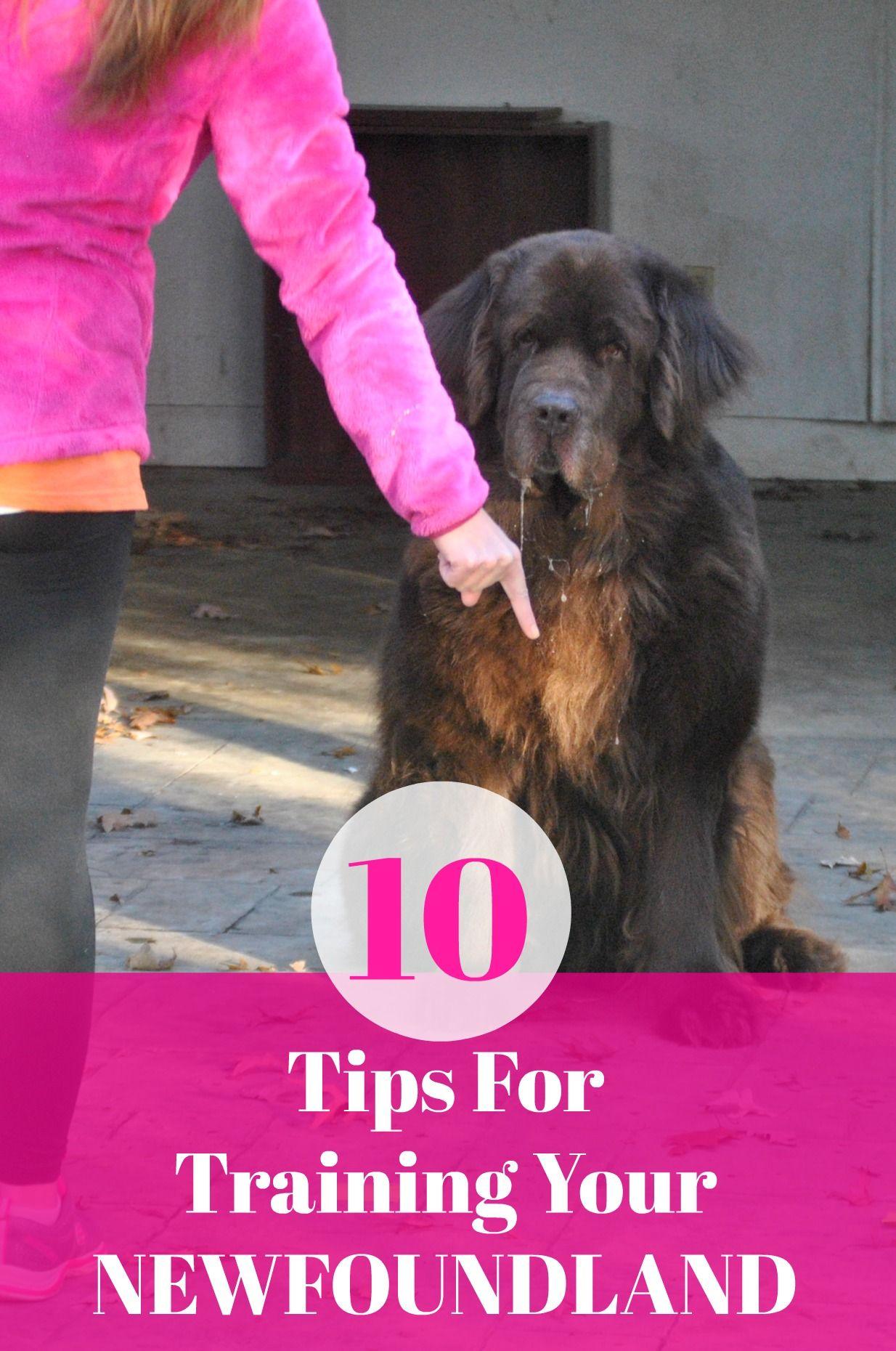 10 Tips For Training Your Newfoundland Dog My Brown Newfies Dog Training Obedience Training Your Dog Dog Training