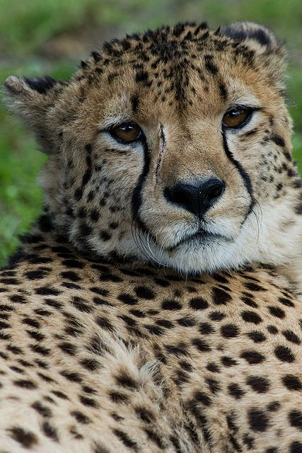 Cheetah at Longleat Safari Park by Sophie L. Miller, via Flickr