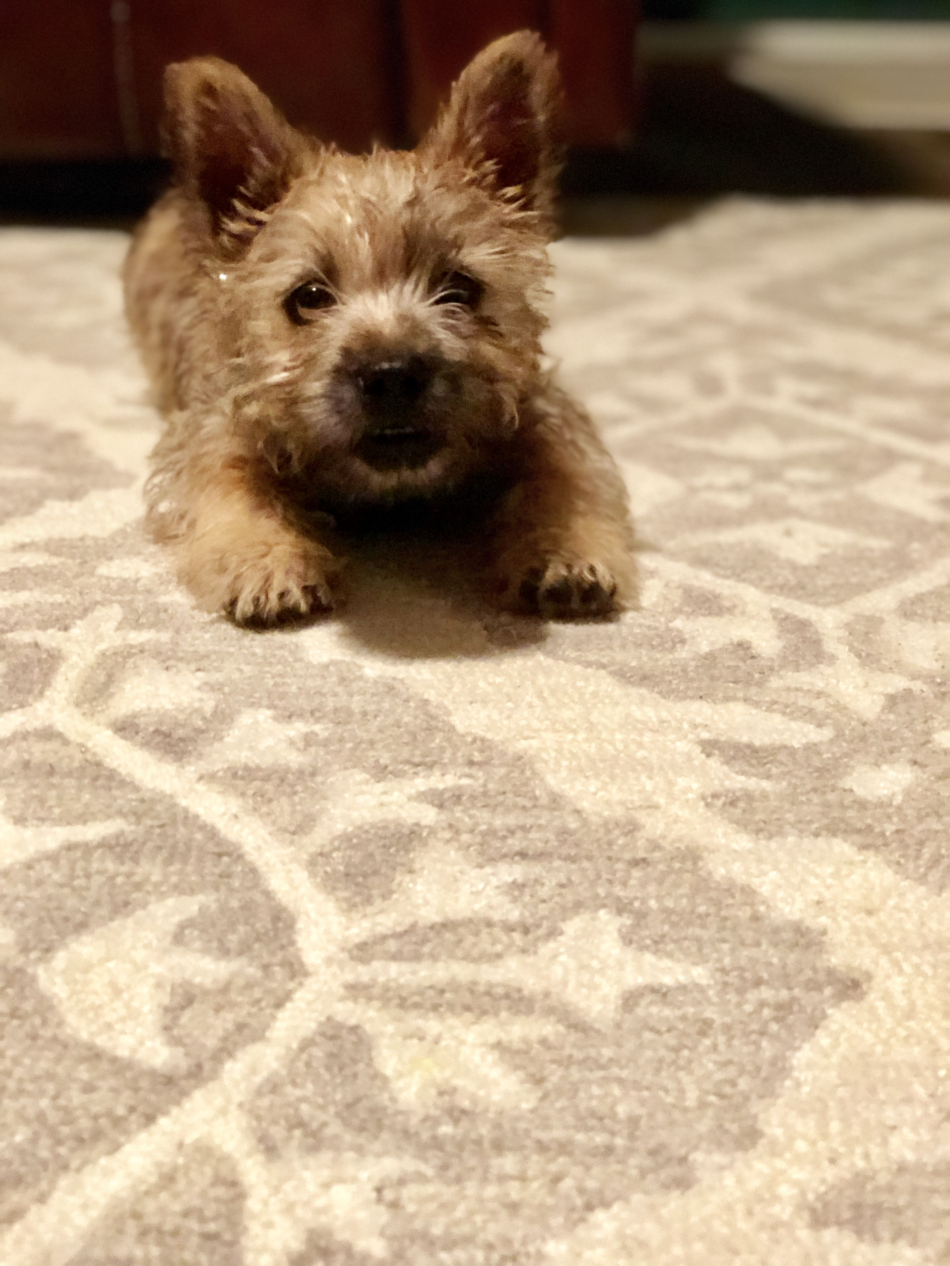 Cairn Terrier.....such a smart,fun breed! Love my puppy. | Cairn ... | Potty Training My Cairn Terrier Puppy